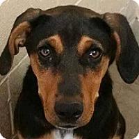 Adopt A Pet :: Chuy - Springdale, AR