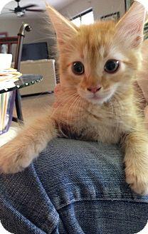 Domestic Longhair Kitten for adoption in Harvey, Louisiana - Gumbo