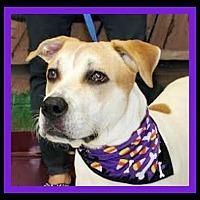Boxer/Pointer Mix Dog for adoption in Euless, Texas - Regan