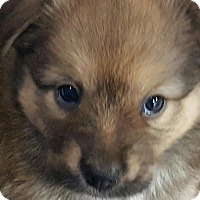 Adopt A Pet :: EBONY FLUFFY GIRL - Pompton Lakes, NJ