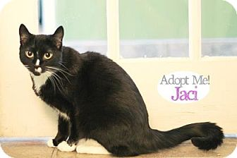 Domestic Shorthair Cat for adoption in West Des Moines, Iowa - Jaci
