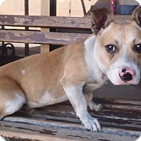 Adopt A Pet :: Corgi Doxie Mix - Lomita, CA