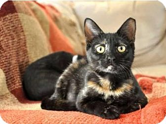 Domestic Shorthair Cat for adoption in Waggaman, Louisiana - Ziva