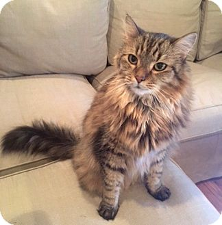 Maine Coon Cat for adoption in Long Beach, New York - Fluff