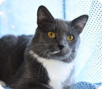 Domestic Shorthair Cat for adoption in Bristol, Connecticut - Calvin