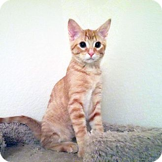 Domestic Shorthair Kitten for adoption in Arlington/Ft Worth, Texas - Cheddar
