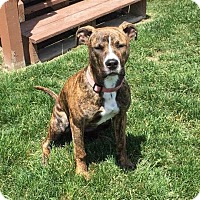 Boxer/Pit Bull Terrier Mix Dog for adoption in Saginaw, Michigan - Lola