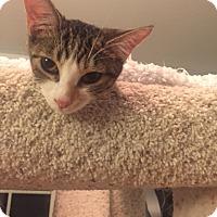 Adopt A Pet :: Chandie - Glendale, AZ