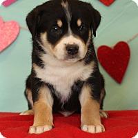Adopt A Pet :: Cobra - Waldorf, MD