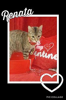 Domestic Shorthair Cat for adoption in Arlington/Ft Worth, Texas - Renata