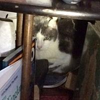 Adopt A Pet :: LittleGreyCP - Carlisle, PA