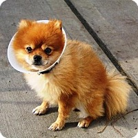 Adopt A Pet :: BOOBOO - Jackson, NJ