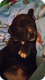 Pit Bull Terrier/Labrador Retriever Mix Puppy for adoption in Molalla, Oregon - Iris