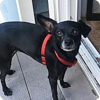 Adopt A Pet :: Stella the Chi - New York, NY