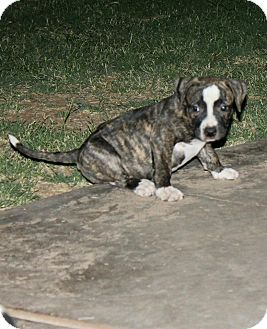 American Pit Bull Terrier Mix Puppy for adoption in Mesa, Arizona - Margo