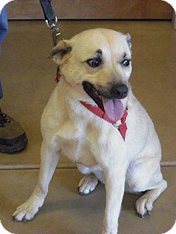Retriever (Unknown Type)/Australian Cattle Dog Mix Dog for adoption in Wickenburg, Arizona - Whiskey