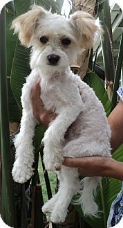 Maltese/Poodle (Toy or Tea Cup) Mix Puppy for adoption in Studio City, California - Peanut Butter