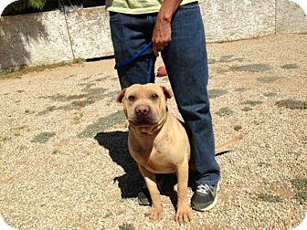 Shar Pei Dog for adoption in Mira Loma, California - Barney