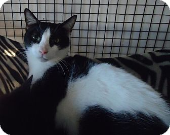 Oriental Cat for adoption in Speedway, Indiana - Oreo