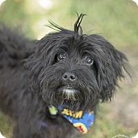 Adopt A Pet :: Bear - Kingwood, TX
