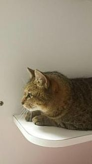 Domestic Shorthair Cat for adoption in Queenstown, Maryland - Lily Pearl