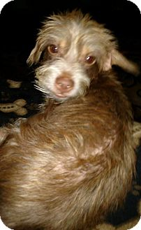 Chihuahua/Terrier (Unknown Type, Medium) Mix Dog for adoption in Laingsburg, Michigan - Rusty