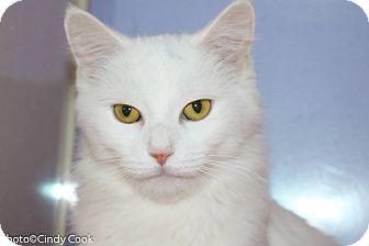 Domestic Mediumhair Cat for adoption in Ann Arbor, Michigan - Angelica