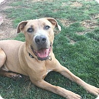 American Pit Bull Terrier/Weimaraner Mix Dog for adoption in Peoria, Arizona - Carter