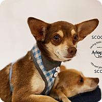 Adopt A Pet :: Scooter - Aqua Dulce, CA