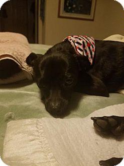 Pug/Chihuahua Mix Dog for adoption in Goodyear, Arizona - Fallon