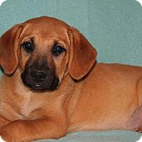 Labrador Retriever/Boxer Mix Puppy for adoption in Southington, Connecticut - Eve