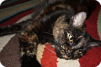 Domestic Mediumhair Cat for adoption in Laguna Woods, California - Pebbles