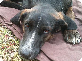 Labrador Retriever Mix Dog for adoption in Lancaster, Pennsylvania - Kiara Sweitzer