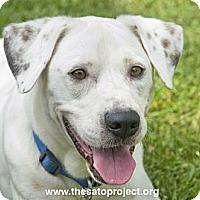 Adopt A Pet :: Benny - Brooklyn, NY