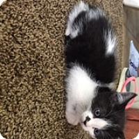 Adopt A Pet :: Blk/white dot - Troy, OH