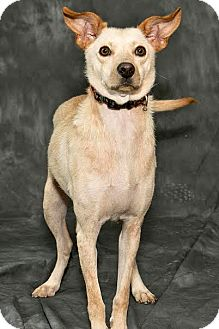 Labrador Retriever/Terrier (Unknown Type, Small) Mix Dog for adoption in Cashiers, North Carolina - Mossy