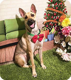 Labrador Retriever/Shepherd (Unknown Type) Mix Dog for adoption in Castro Valley, California - Kapli