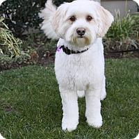 Adopt A Pet :: CLEO - Newport Beach, CA