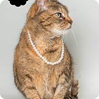 Adopt A Pet :: Pumpkin(@petsmart Canton) - Wyandotte, MI
