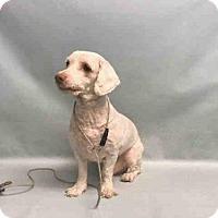Adopt A Pet :: SNOWFALL - Brooklyn, NY