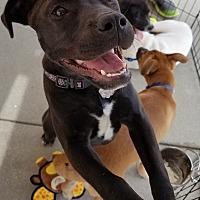 Adopt A Pet :: Belle - Decatur, GA