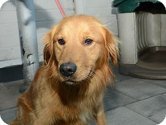 Golden Retriever Dog for adoption in New York, New York - Roy