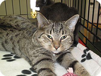 Domestic Shorthair Cat for adoption in Port Republic, Maryland - Leila