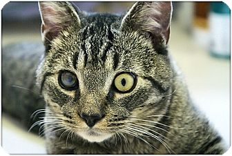 Domestic Shorthair Cat for adoption in Elmwood Park, New Jersey - Lucky
