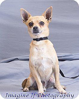 Chihuahua Dog for adoption in Crescent, Oklahoma - Luigi