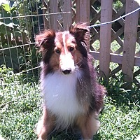 Adopt A Pet :: Brandy - Abingdon, MD