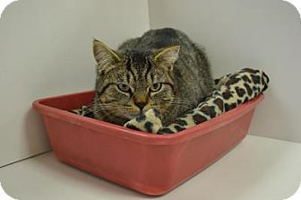 Domestic Shorthair Cat for adoption in East Smithfield, Pennsylvania - Chubby Cubby