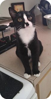 Domestic Shorthair Kitten for adoption in Tampa, Florida - Thelma