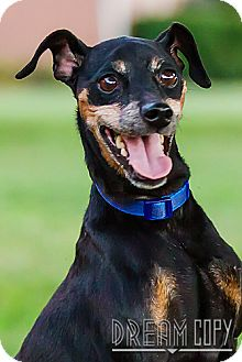Miniature Pinscher Mix Dog for adoption in Owensboro, Kentucky - Remi- DRD Program