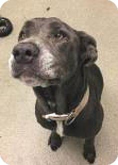 Cane Corso Mix Dog for adoption in Columbus, Georgia - Tiny 671A